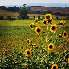 Auringonkukkapelto.
